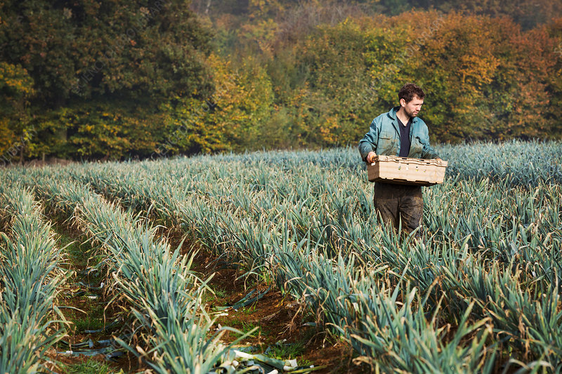 A man carrying a crate of vegetables in a field of leeks