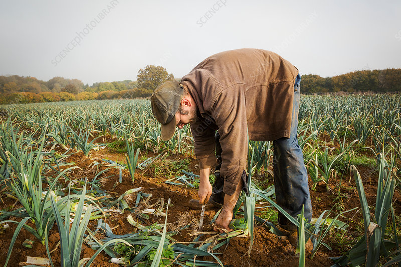 A man lifting fresh leeks from the soil in a field