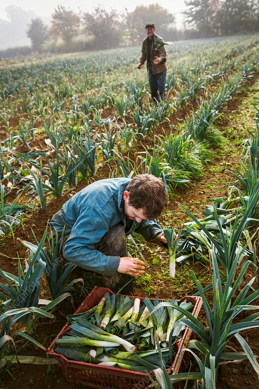 A woman and man working harvesting cauliflowers