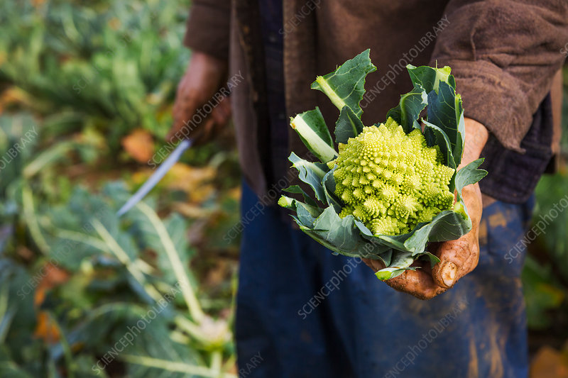 A man holding a harvested cauliflower in his hands