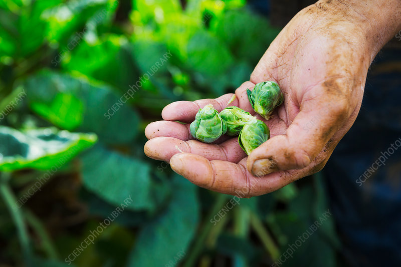 A man holding three small Brussel sprouts in his hand