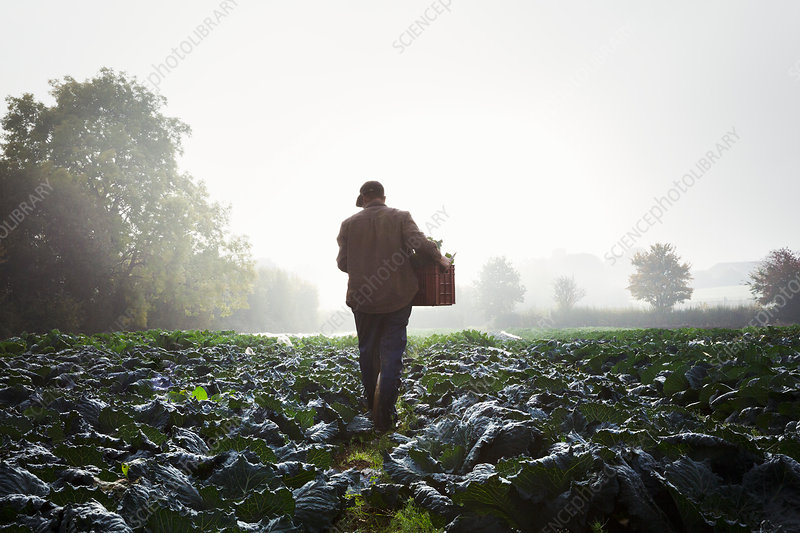 One person walking through rows of vegetables in a field