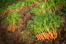 Rows of freshly pulled up carrots on the soil