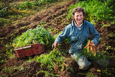 A mature woman working pulling carrots, fresh produce