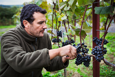 Person picking bunches of red grapes from the vine