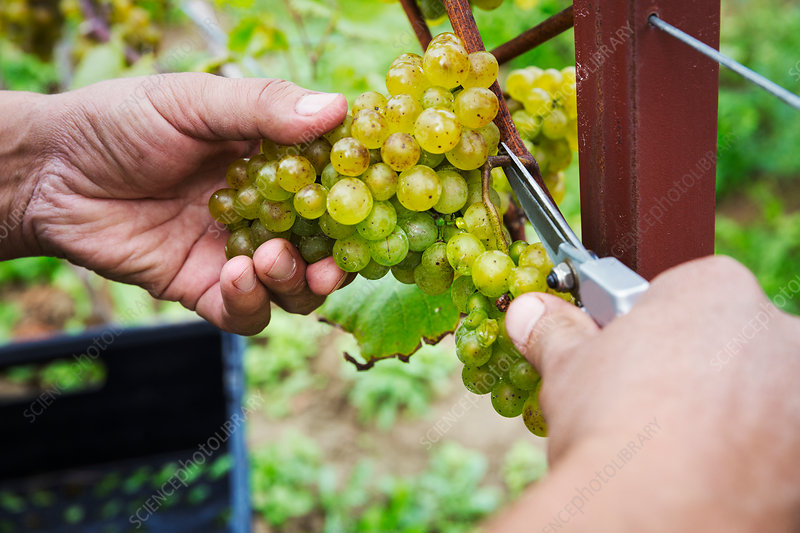 Person picking bunches of grapes cutting with secateurs