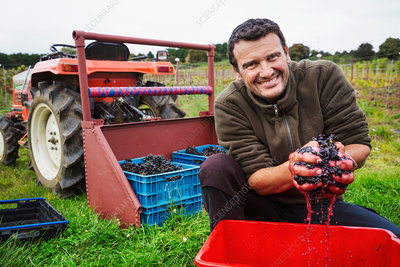 A man with his hands full of fresh crushed red grapes