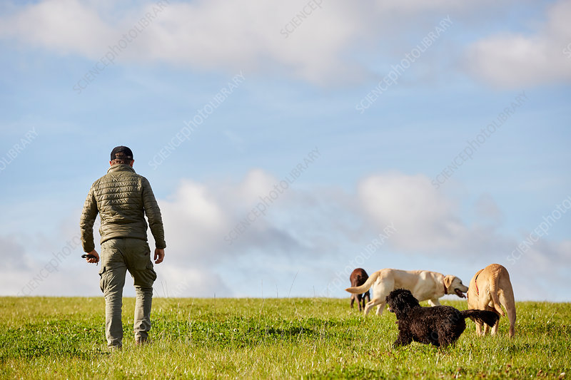 Dog walker walking across grass with four dogs