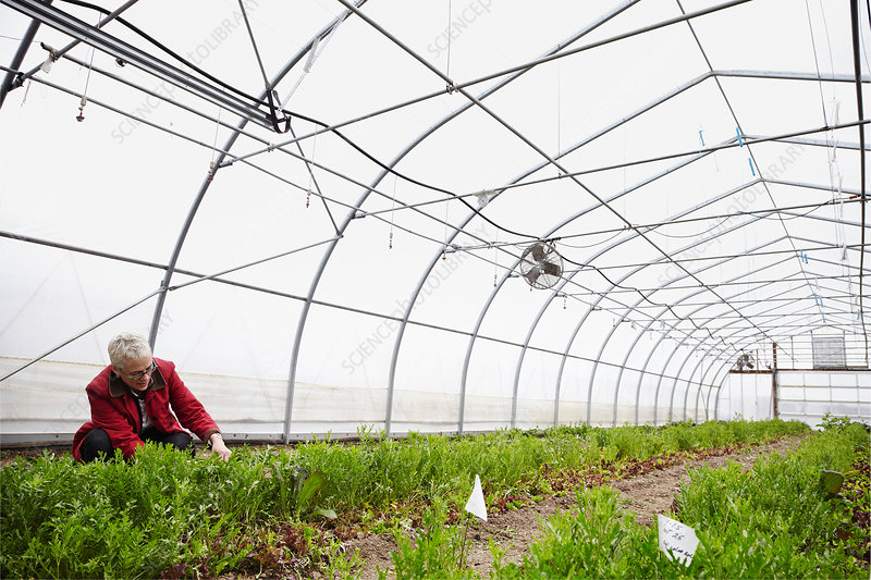 A woman working in a horticultural polytunnel
