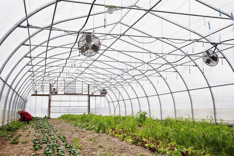 A large commercial horticultural polytunnel