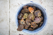 Sustainable Oyster Fishing in Cornwall, Bucket of shells