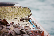 Sustainable Oyster Fishing, a dark shelled crab and shells