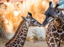 Two giraffes at Los Angeles Zoo nuzzling
