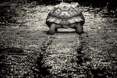 A large Galapagos Tortoise, rear view, walking along path