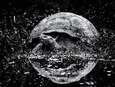 A large Galapagos tortoise approaching water