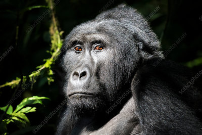 A wild mountain gorilla in the Bwindi Impenetrable Forest