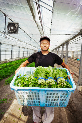 Worker in a greenhouse holding a crate of vegetables