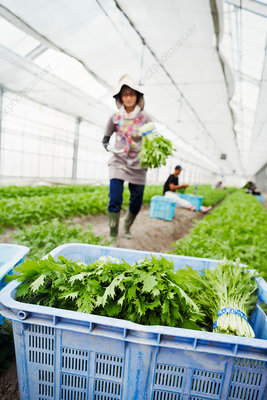 Worker in a greenhouse carrying harvested mizuna plants