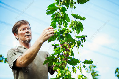 Man standing picking hops from a tall flowering vine