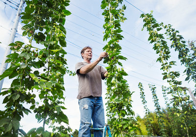 Man picking hops from a tall flowering vine