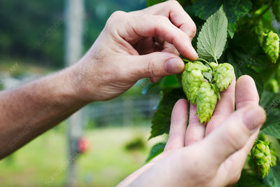 Man picking hop flowers from a hop vine in the harvest
