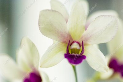 White and purple lip dendrobium orchid