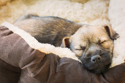 Close up sleeping puppy dog in dog bed
