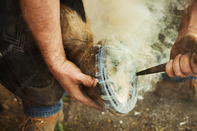 A farrier shoeing a horse, bending to fit a new metal shoe