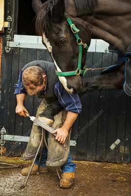 A farrier filing the hoof of a horse he is shoeing