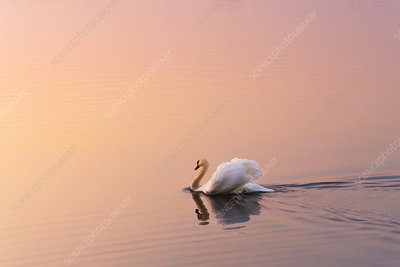 A swan swimming on a large body of water at dusk