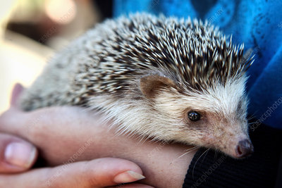 A hedgehog being held in a pair of human hands