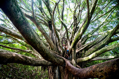 A person climbing in the branches of a mature tree