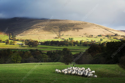 Large flock of sheep on a meadow, hills in the distance