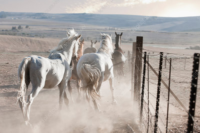 Horses running in dusty pen