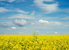 Yellow flower in field under blue sky