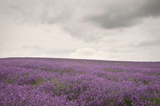 Field of purple flowers under cloudy sky