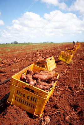 Crates of sweet potatoes in field