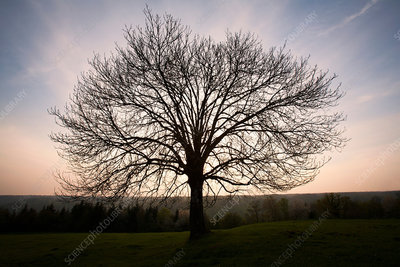 Silhouette of bare tree in field