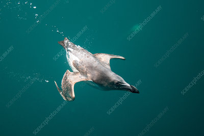 Guillemot bird swimming underwater