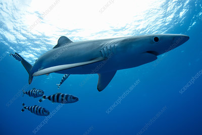 Shark and fish swimming underwater