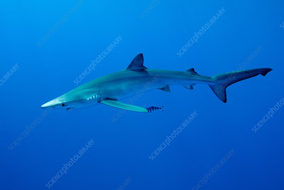 Blue shark swimming underwater