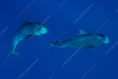 Sperm whales swimming underwater
