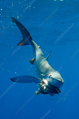 Blue shark eating underwater