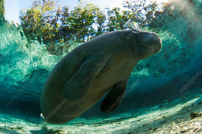Manatee swimming in tropical water