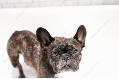 French bulldog standing in bathtub