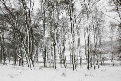 Trees in snowy forest