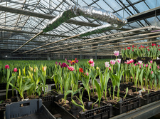 Pink and red tulips growing in crates in greenhouse