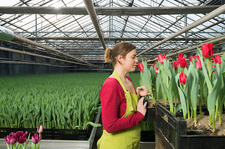 Woman inspecting red tulips in greenhouse