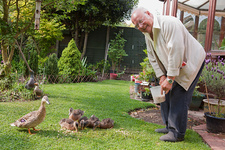 Senior man feeding ducks in garden