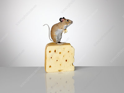 Mouse standing on a piece of cheese